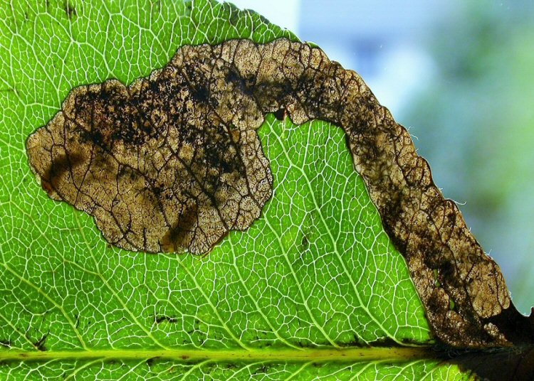 several larvae may mine a leaf