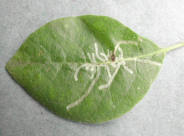 the miner makes a stellate pattern on the leaf