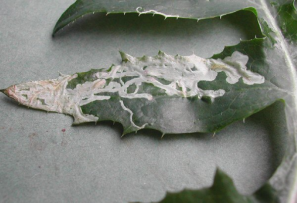 many mines may occur on a leaf