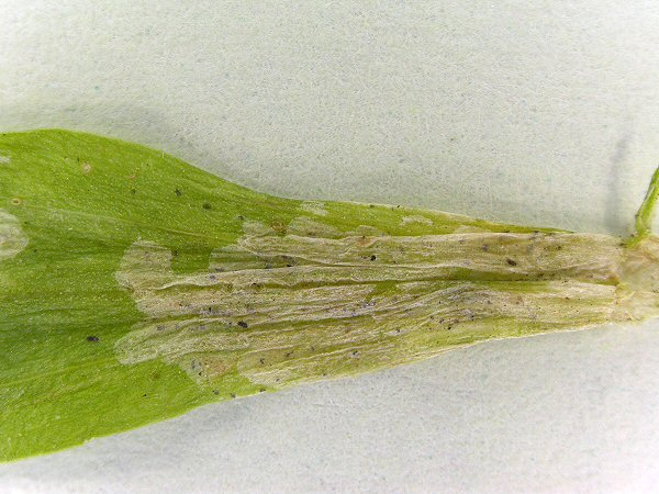 the blotch mine forms in the basal part of the leaf