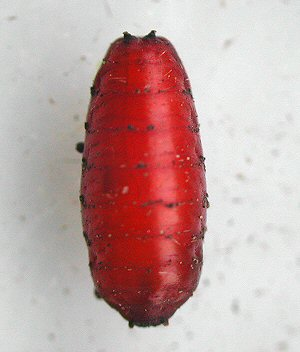 the pupa in dorsal view