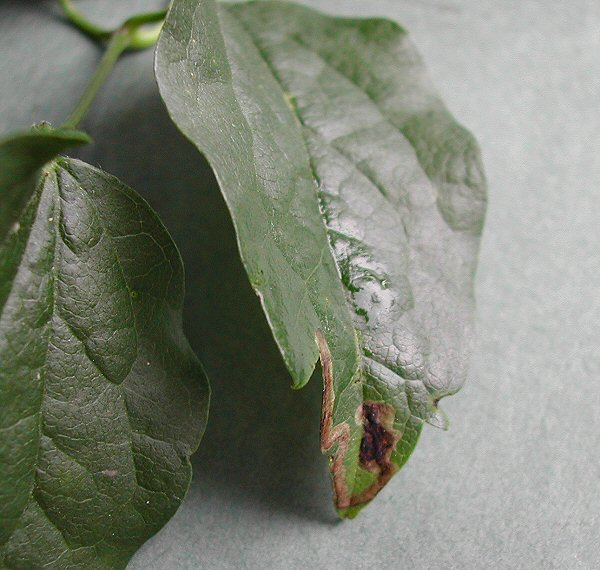 the mine usually starts near the tip of a leaf