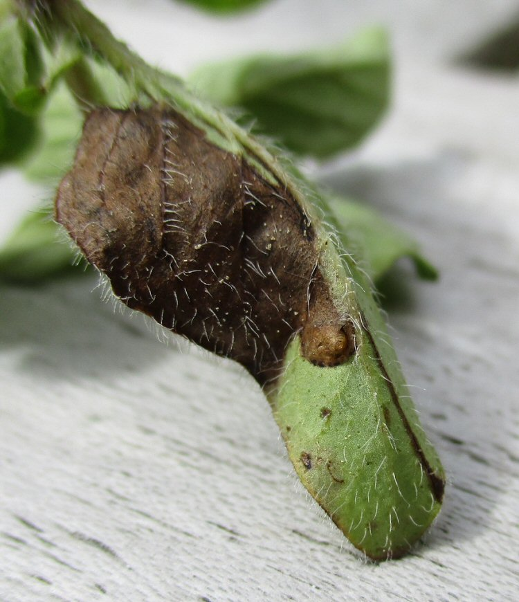 pupa protruding through a slit