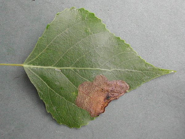 blotch mines are formed at the leaf edge