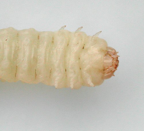 ventral view of prepupa