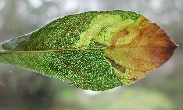 the blotch mine is made in the tip of the leaf