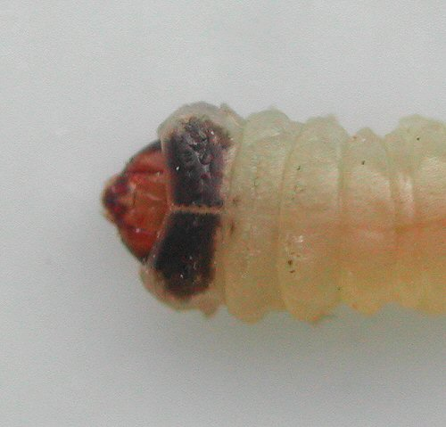 this is the dorsal view of the larva