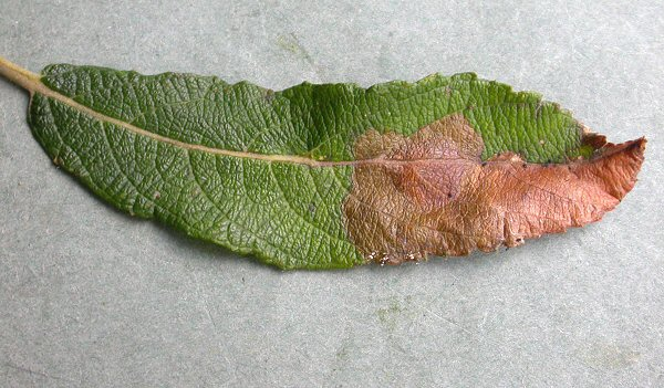 the disc can be seen towards the left, straddling the midrib of the leaf