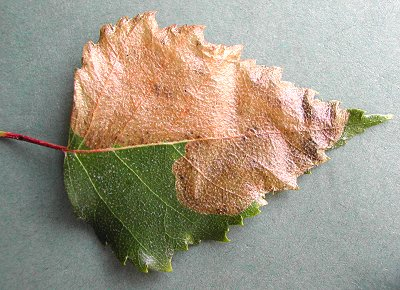 the mine can occupy a large part of a leaf
