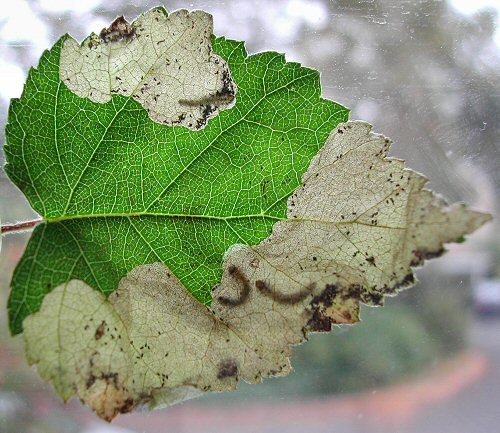 several larvae can occupy a leaf