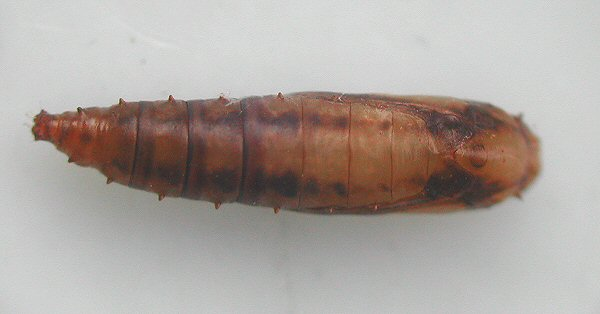 the lateral spines can be seen in this dorsal view