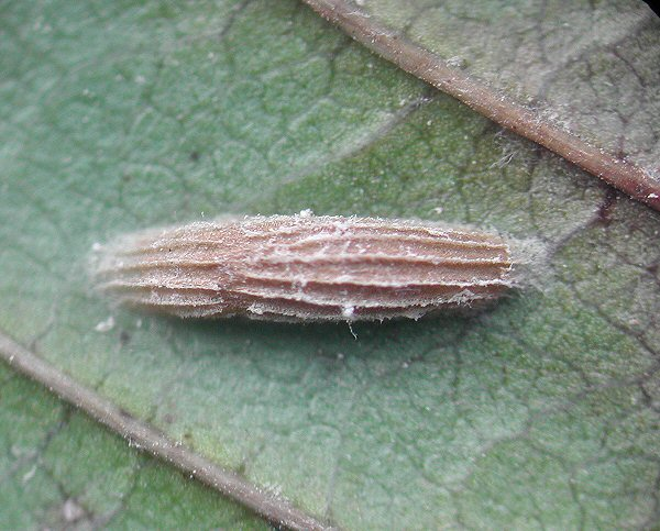 the cocoon has the typical ribbed appearance of the Bucculatricidae