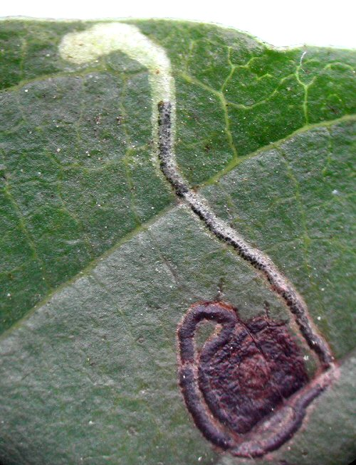 the mine is clearly visble on the upper surface of the leaf