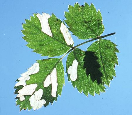 the larva make blotches in the leaf