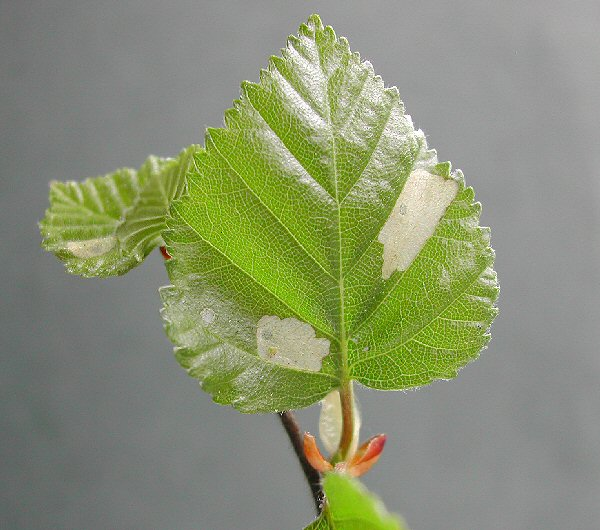 the pock marks form on the leaf