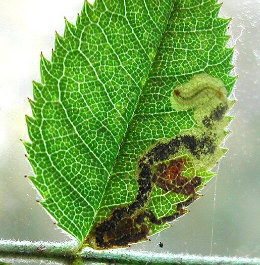 the larva has dark ventral spots