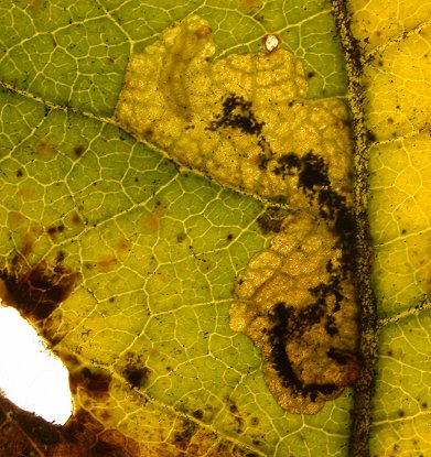 larva feeding in leaf