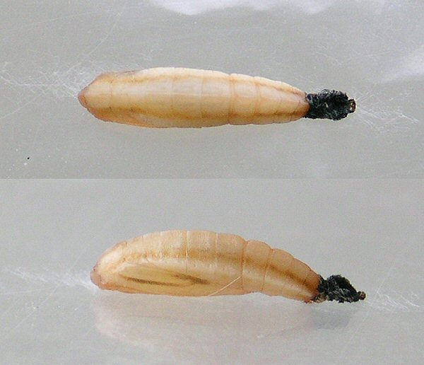 different views o f the pupa are shown