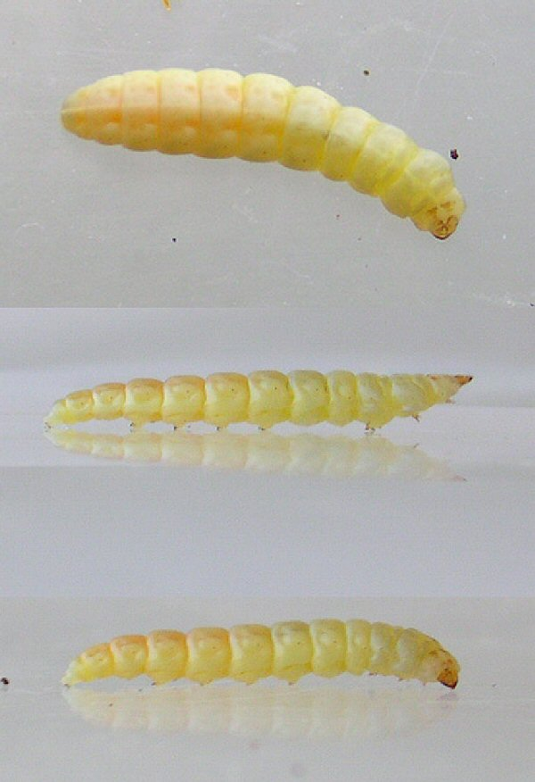 the larvae are pale coloured