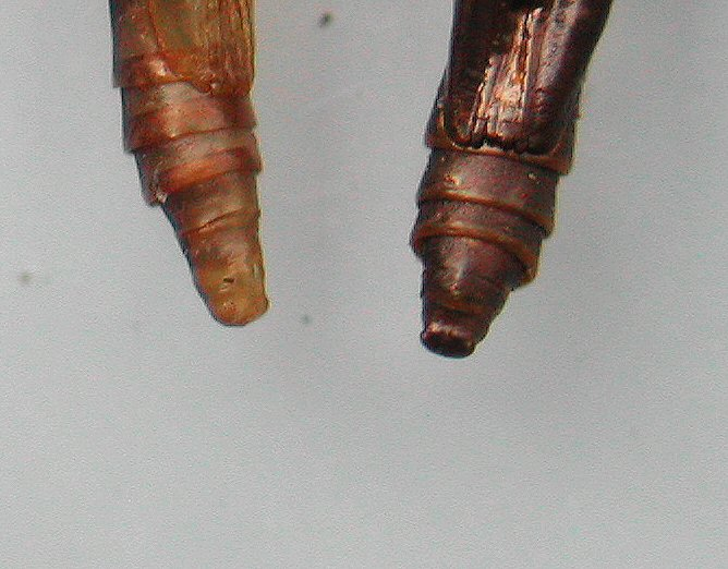 the pupae vary in colour