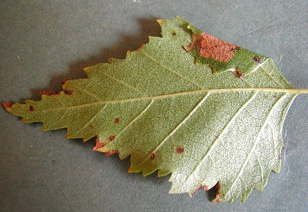 the leaf is folded over