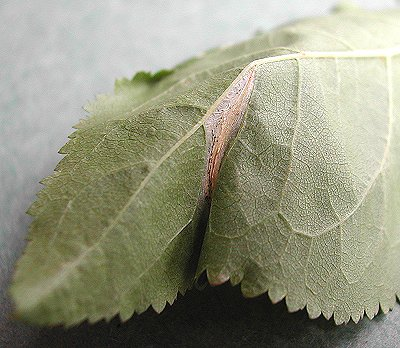 the initial blotch contorts the leaf