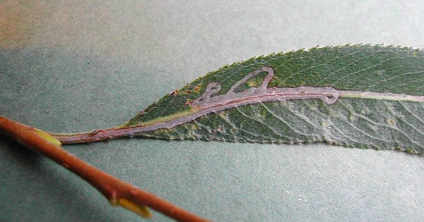 the larva has mined the petiole and leaf