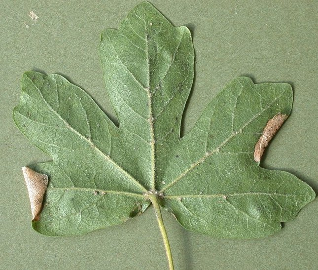 several mines may occupy a leaf