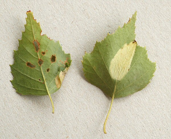 P.ulmifoliella on left and P.cavella on right