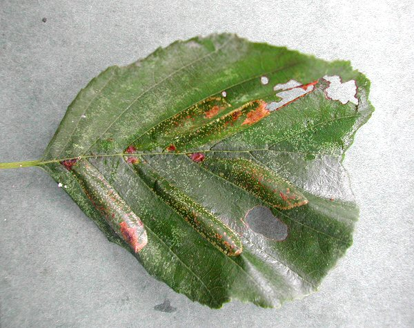 there may be several mines in a leaf