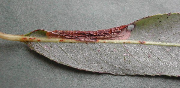 the leaf edge is folded over