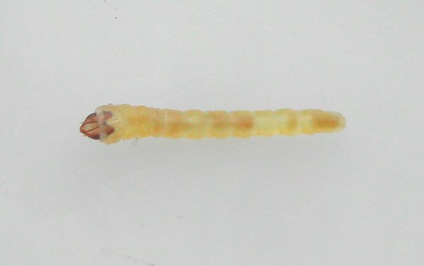dorsal view of larva