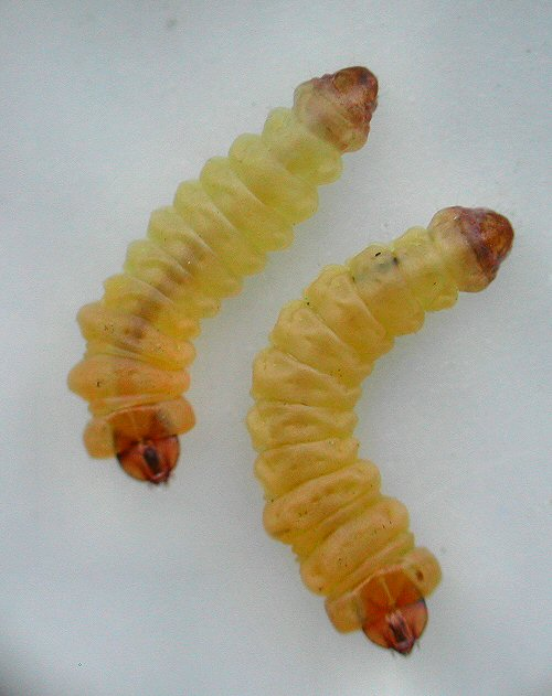 the larvae in dorsal view