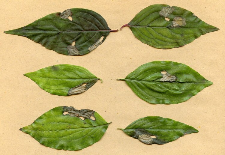may be several cut outs in a leaf