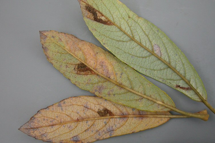lower leaf surfaces