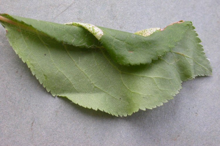 te underside of the leaf with the mine causing the leaf to fold over