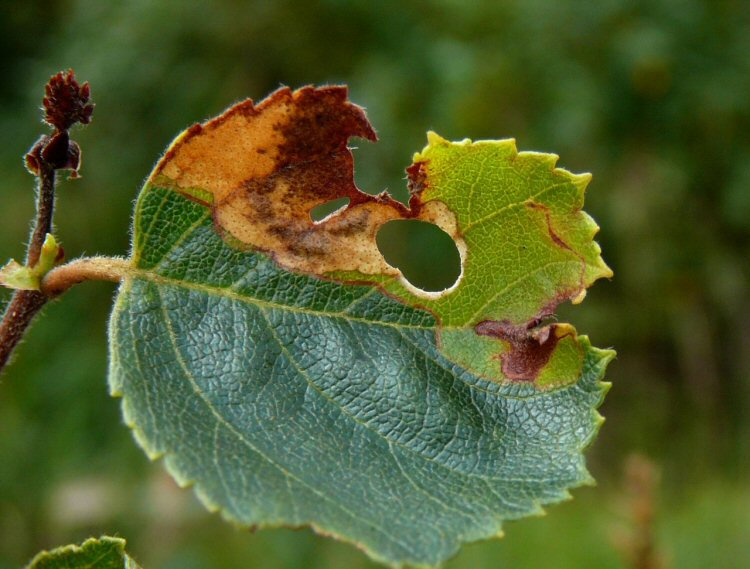 larva makes a cutout in the leaf
