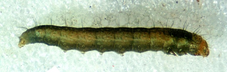 larva lateral view