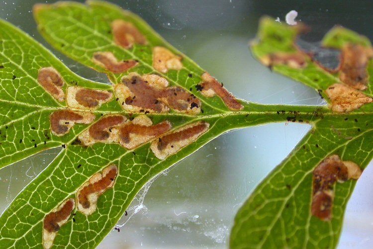 many mines can form in a leaf